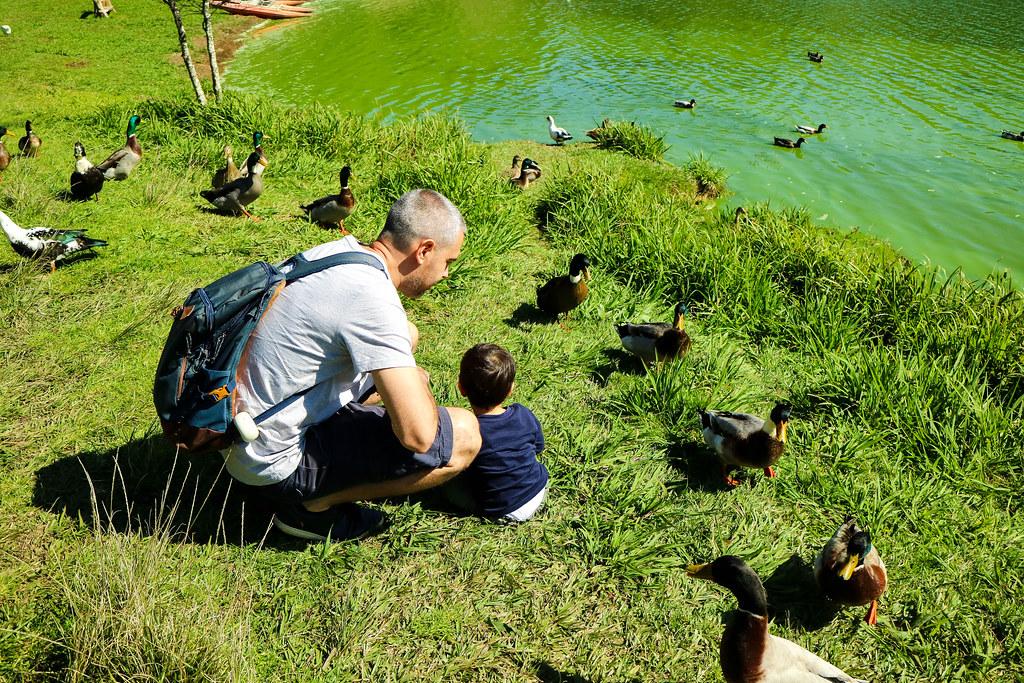 Patos a las orillas de Lagoa das Furnas en São Miguel