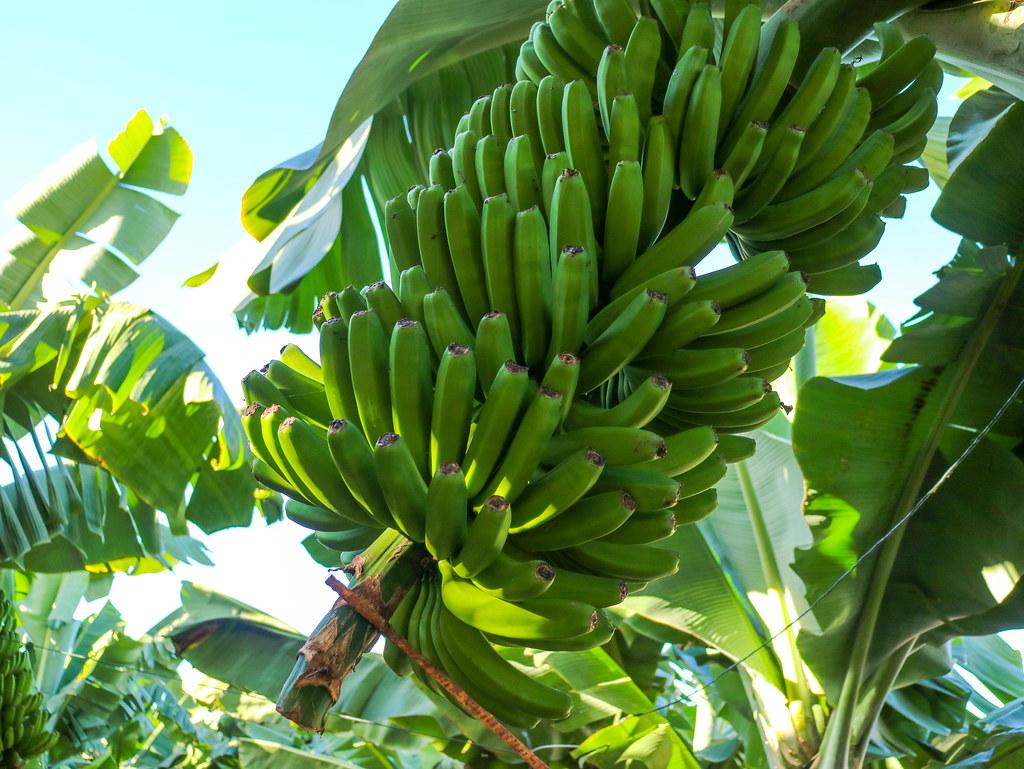 Racimo de plátano de Canarias sin flor