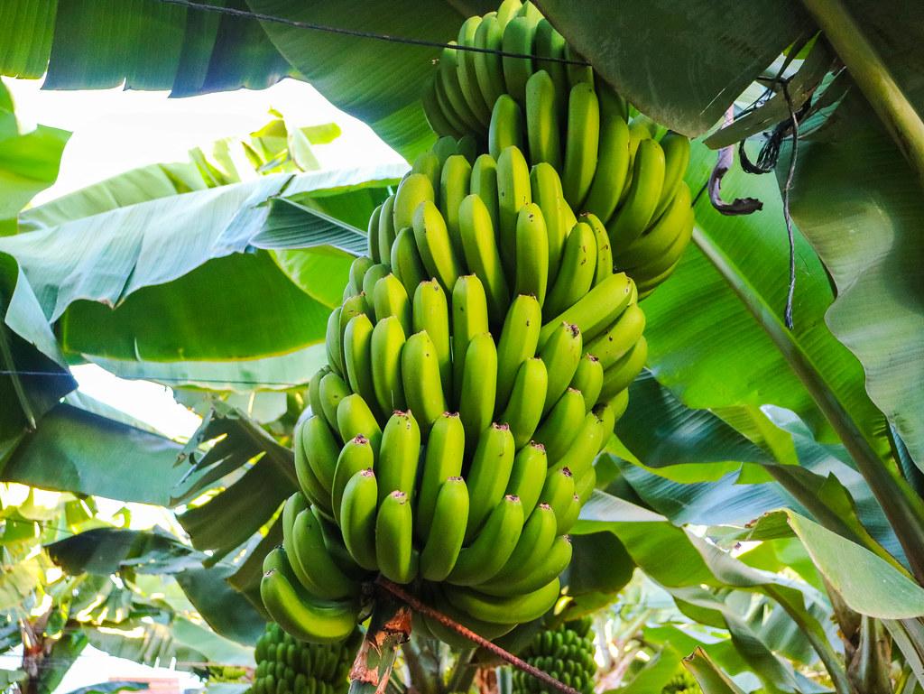 Racimo de plátano de Canarias sin cortar