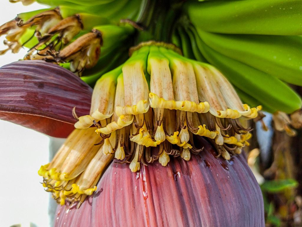 Flor de la platanera durante una ruta del plátano en Tenerife