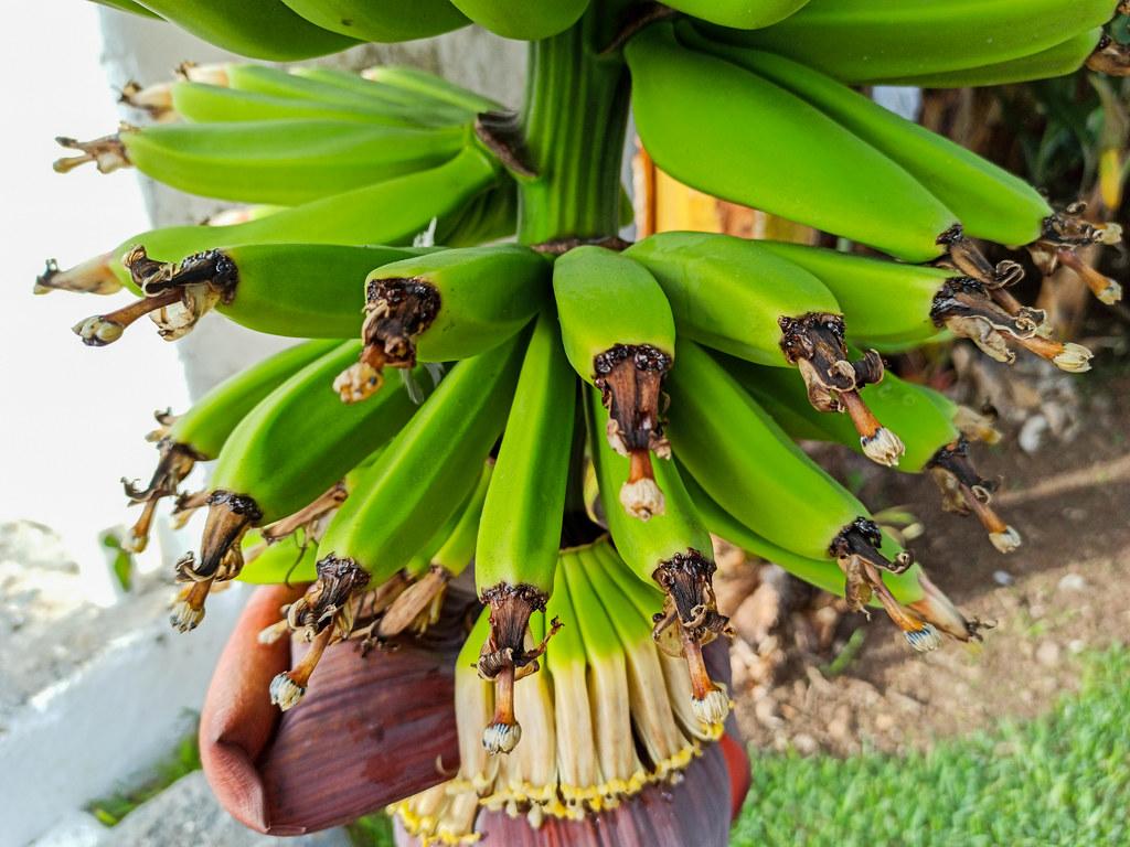 Flores de la platanera en una ruta del plátano en Tenerife