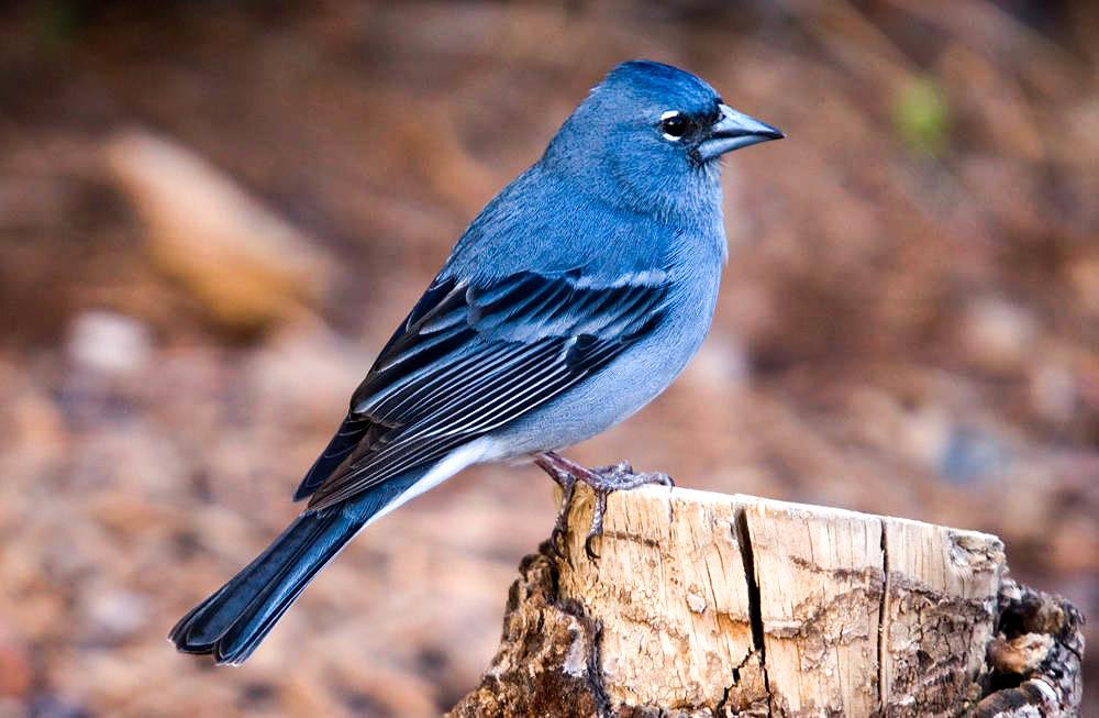 Pinzón azul de Gran Canaria (Fringilla polatzeki)