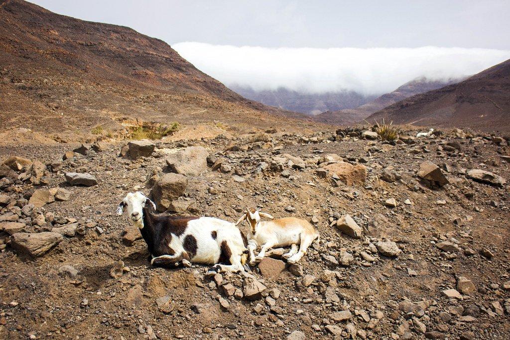 Cabras de Fuerteventura cerca de Cofete